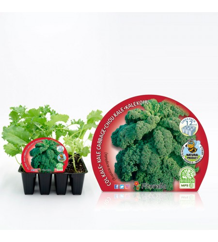 Pack Col Kale 12 Ud. Brassica acephala - 02031086 (1)