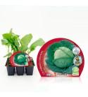 Pack Col Milán 6 Ud. Brassica oleracea var. capitata