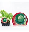 Pack Col Milán 12 Ud. Brassica oleracea var. capitata