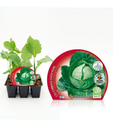Pack Col Redonda Lisa 6 Ud. Brassica oleracea var. capitata - 02031039 (1)
