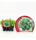 Pack Espinaca 12 Ud. Spinacia oleracea