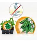 Pack Guisante Mata Baja 6 Ud. Pisum sativum