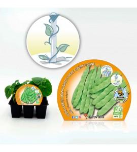 Pack Judía Mata Alta 6 Ud. Phaseolus vulgaris - 02031029 (1)