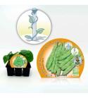 Pack Judía Mata Alta 6 Ud. Phaseolus vulgaris