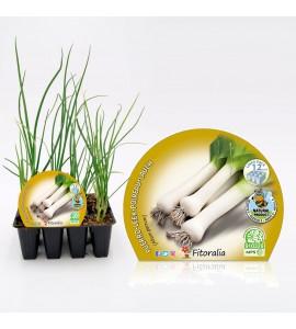 Pack Puerro 12 Ud. Allium porrum - 02031070 (1)