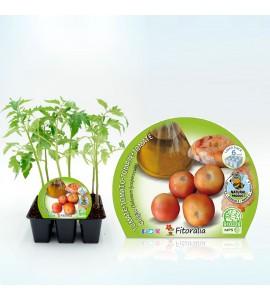 Pack Tomate Colgar 6 Ud. Solanum lycopersicum - 02031049 (1)