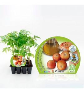 Pack Tomate Colgar 12 Ud. Solanum lycopersicum - 02031012 (1)