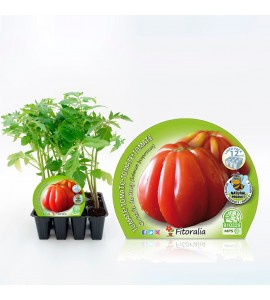 Pack Tomate Corazón De Buey 12 Ud. Solanum lycopersicum - 02031014 (1)