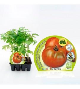 Pack Tomate Ensalada Híbrido 12 Ud. Solanum lycopersicum - 02031013 (1)