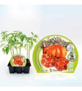 Pack Tomate Montserrat 6 Ud. Solanum lycopersicum - 02031052 (1)