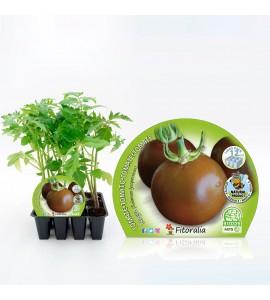 Pack Tomate Negro 12 Ud. Solanum lycopersicum - 02031016 (1)