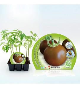 Pack Tomate Negro 6 Ud. Solanum lycopersicum - 02031053 (1)