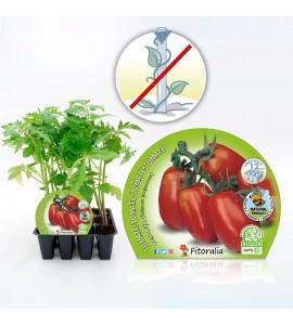 Pack Tomate Pera Mata Baja 12 Ud. Solanum lycopersicum - 02031096 (1)