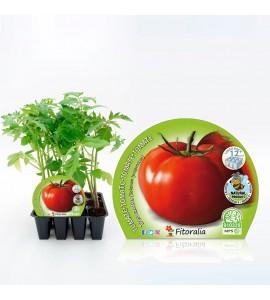 Pack Tomate Tres Cantos 12 Ud. Solanum lycopersicum - 02031080 (1)