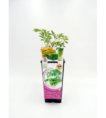 Moringa 2l Moringa oleifera