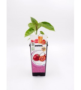 Tamarillo 2l Solanum betaceum