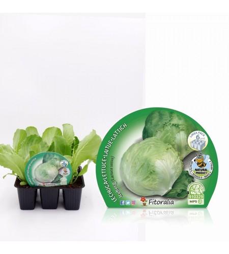 Pack Lechuga Iceberg 6 Ud. Lactuca sativa