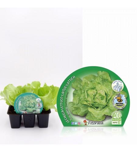 Pack Lechuga Trocadero 6 Ud. Lactuca sativa