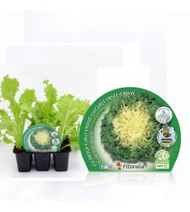 Pack Escarola 6 Ud. Cichorium endivia