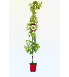Parra Aledo M-25 - Vitis vinifera