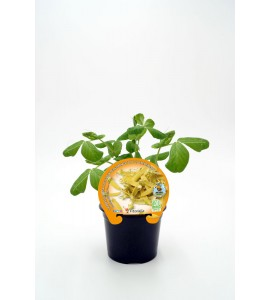 Guisante Tirabeque Amarillo Golden Sweet M-10,5 Pisum sativum
