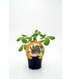 Guisante Tirabeque Púrpura Shiraz M-10,5 Pisum sativum