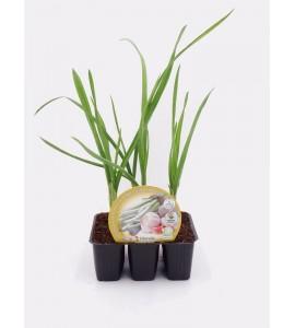 Pack Ajos 6 Ud. Allium sativum