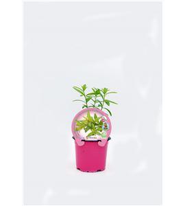 Hierba Luisa M-10,5 Aloysia citriodora - 02030039 (1)