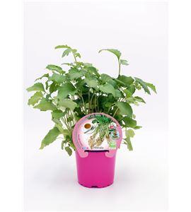 Valeriana M-10,5 ECO Valeriana officinalis - 02030037 (1)