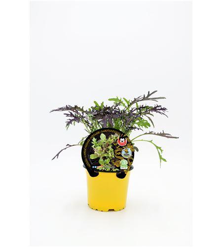 Mostaza M-10,5 Brassica juncea - 02027002 (1)