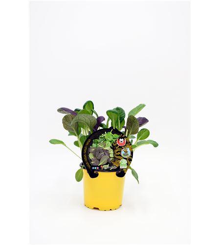 Tatsoi M-10,5 Brassica rapa var. narinosa - 02027003 (1)