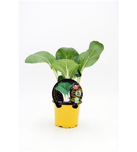Pak Choi M-10,5 ECO Brassica rapa var. chinensis - 02027004 (1)