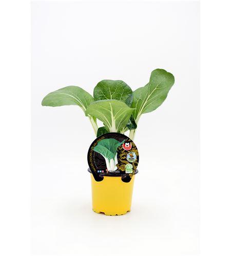 Pak Choi M-10,5 Brassica rapa var. chinensis - 02027004 (1)