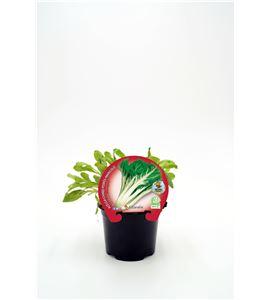 Acelga Verde M-10,5 ECO Beta vulgaris - 02025150 (1)