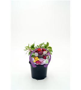 Justo de tamaño Remolacha Colores M-10,5 Beta vulgaris - 02025156 (1)