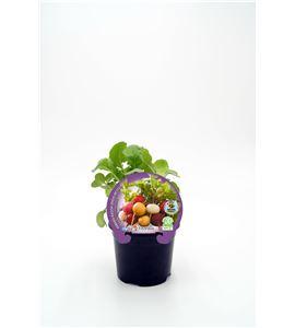 Rábano Colores M-10,5 ECO Raphanus sativus - 02025151 (1)