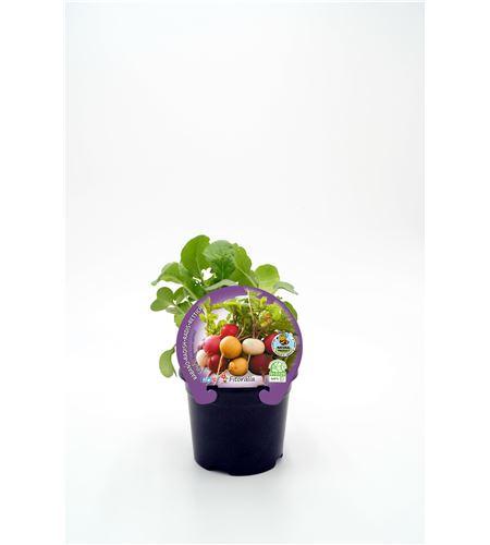 Rábano Colores M-10,5 Raphanus sativus - 02025151 (1)