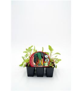 Pack Acelga Colores 6 Ud. Beta vulgaris - 02031074 (1)