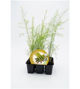 Pack Espárrago 6 Ud. ECO Asparagus officinalis - 02031046 (1)