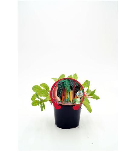 Acelga Colores M-10,5 Beta vulgaris - 02025089 (1)