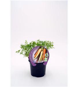 Zanahoria Colores M-10,5 ECO Justo de tamaño - 02025099 (1)