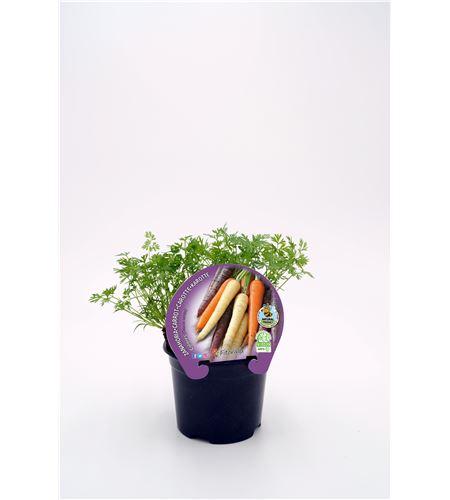 Justo de tamaño ´Zanahoria Colores M-10,5 ECO Daucus carota - 02025099 (1)