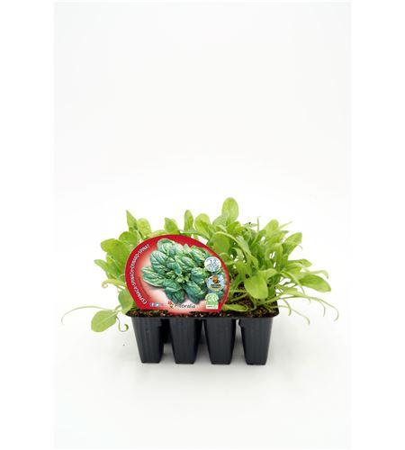 Pack Espinaca 12 Ud. Spinacia oleracea - 02031008 (1)