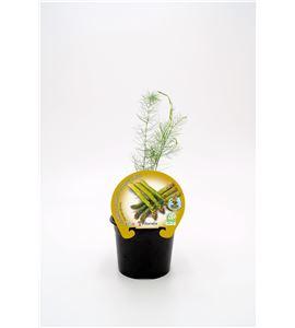 Espárrago M-10,5 Asparagus officinalis - 02025080 (1)