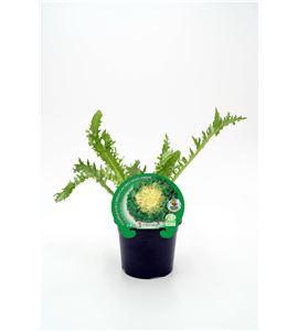 Escarola Cabello de Ángel M-10,5 ECO Cichorium endivia - 02025047 (1)