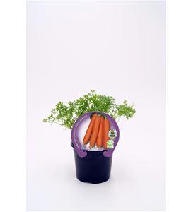 Justo de tamaño Zanahoria M-10,5 Daucus carota - 02025063 (1)