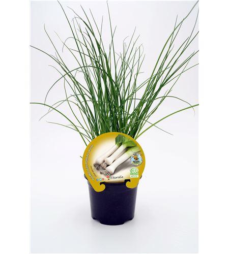 Justo de tamaño ´Puerro M-10,5 Allium porrum - 02025069 (1)