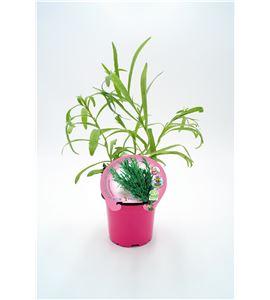Justo de tamaño. ´Estragón M-10,5 Artemisia dracunculus - 02030008 (1)