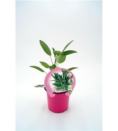 Salvia M-10,5 Salvia officinalis - 02030018 (1)