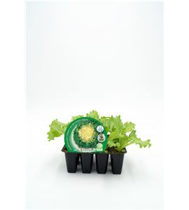 Pack Escarola 12 Ud. Cichorium endivia - 02031004 (1)